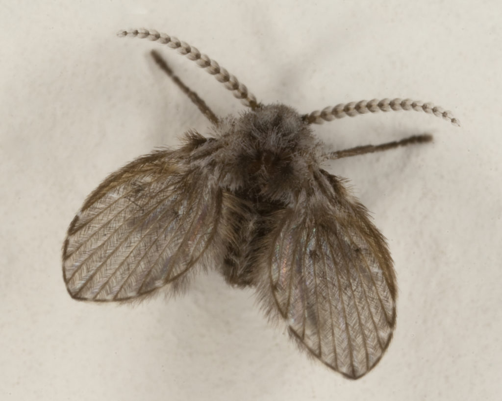 Read our tips on how to get rid of drain flies